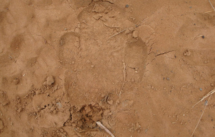 White Rhino Track at Londolozi