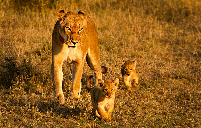 The Sparta Lioness with her cubs