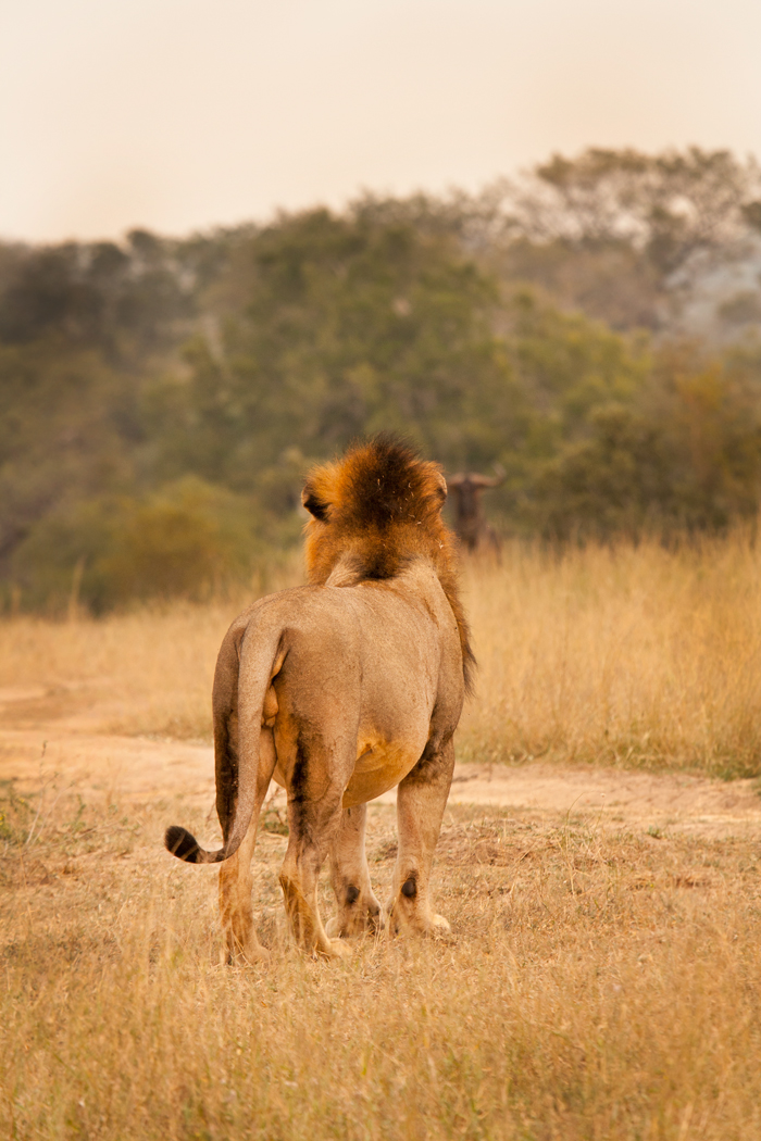 A Majingilane Male looking at the wildebeest