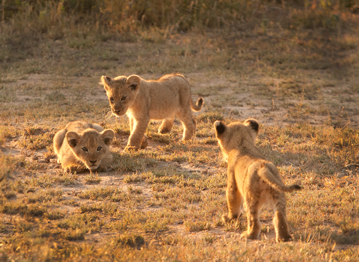 Lions cubs stalking and playing with each other
