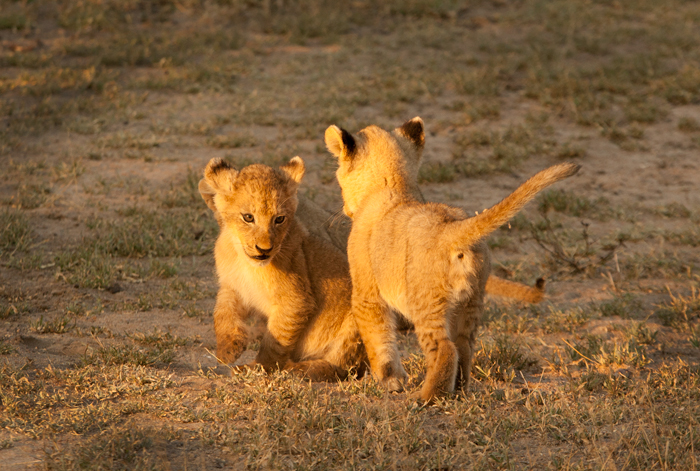Sparta Cubs Playing
