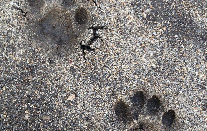 Female Leopard Track