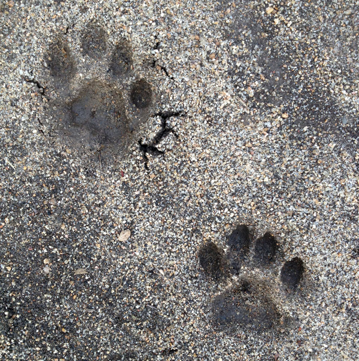Female Leopard Track