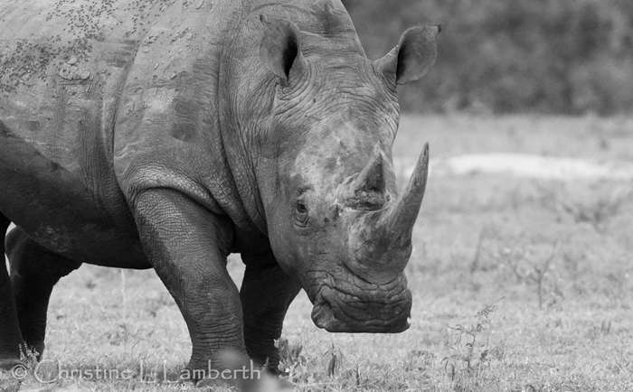 White Rhino by Christine Lambert