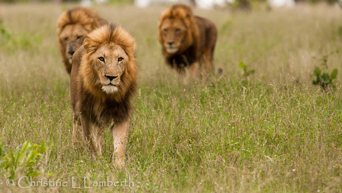 Majingilane Males on Patrol by Christine Lambert