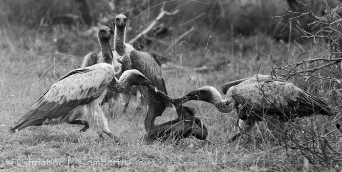 Vultures in Black and White by Christine Lambert