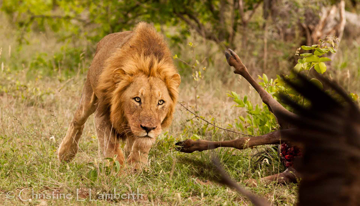 Majingilane Male Lion Chasing Vultures by Christine Lambert