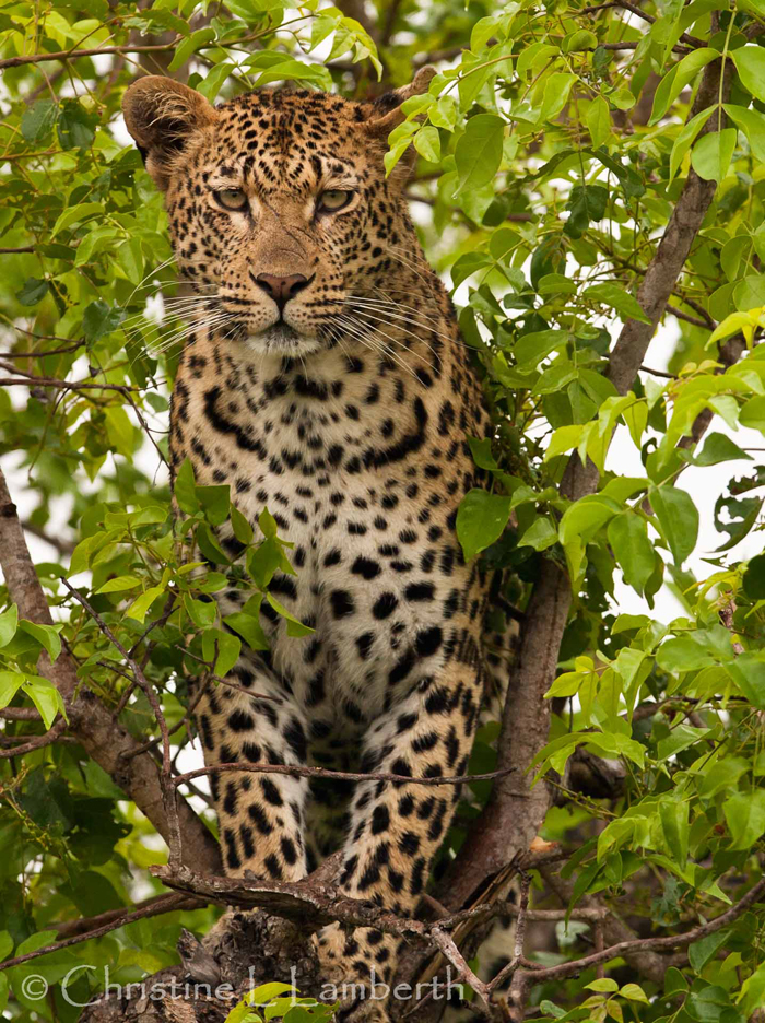 Mashaba Female Leopard by Christine Lambert