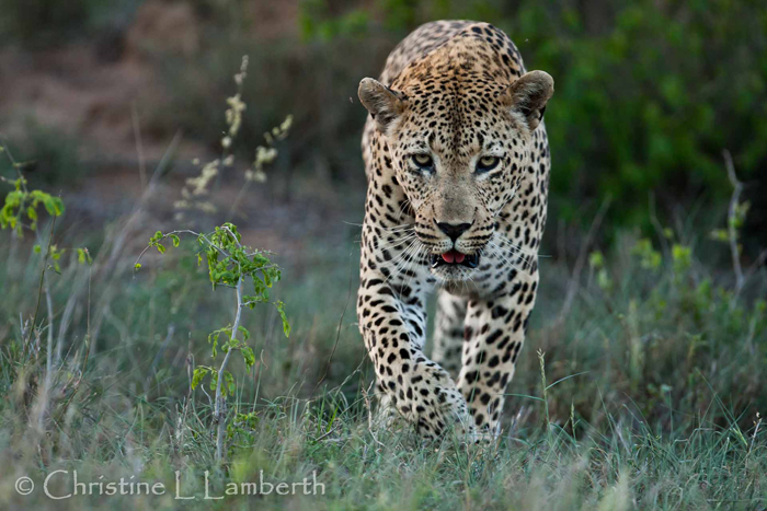 Camp Pan Male Leopard by Christine Lambert