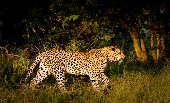 Tamboti female walking