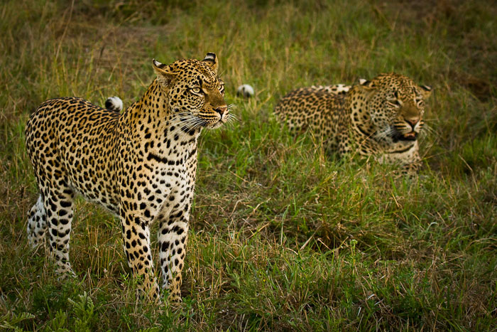 Tamboti female standing next to Maxabene 3:2 young male