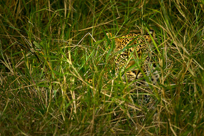 Tamboti female lying in long grass
