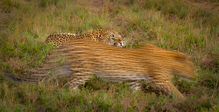 Tamboti female and Maxabene 3:2 young male