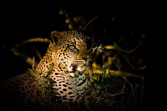 Tamboti female leopard in afternoon light