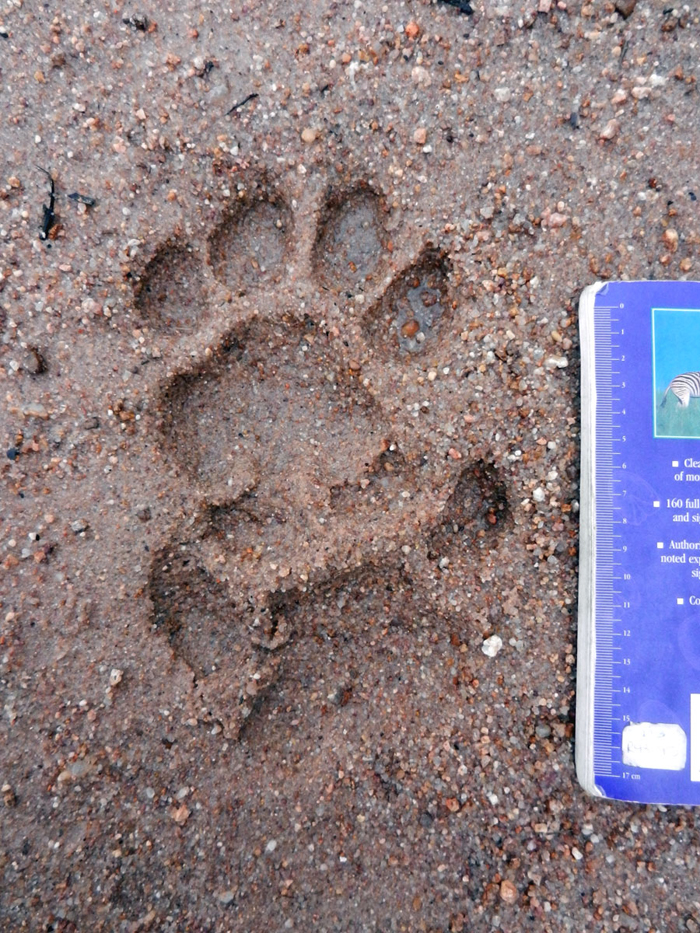 Male Lion Track