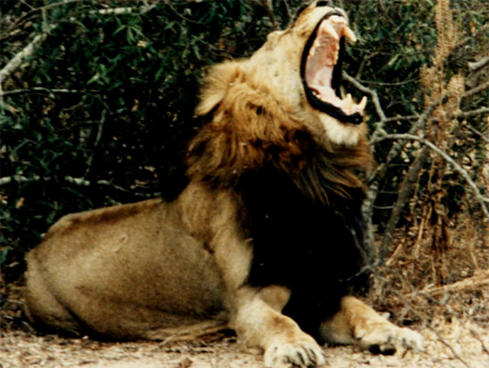 Picture taken from the Londolozi archives of the male lion known by the rangers as Big Black - parry Davies