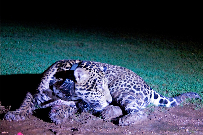 The collared female Jaguar