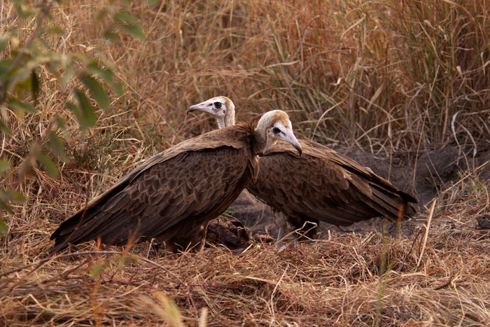 Two Hooded vultures linger near the site of a kudu killed by lions.