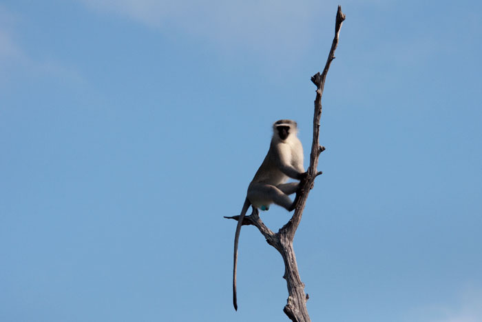 A monkey sounds an alarm from a lookout perch.