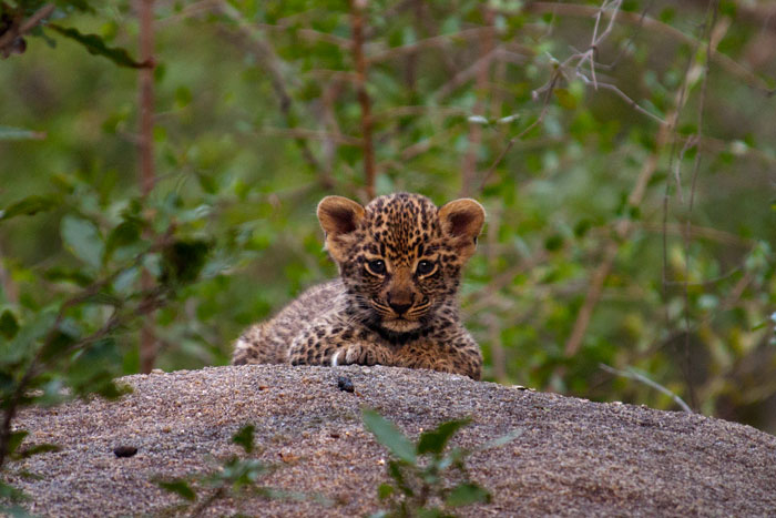 Dudley Riverbank Leopard Cub on rock - Talley Smith