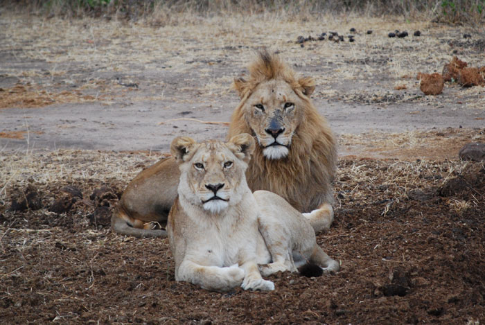 The Majingilane Scarn Nose Male and Sparta Lioness prior to mating.  This more than likely resulted in the offspring we are seeing today