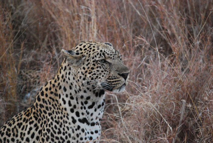 I've read much about the leopards on the Blog, this is the Dudley Riverbank 5:5 Male
