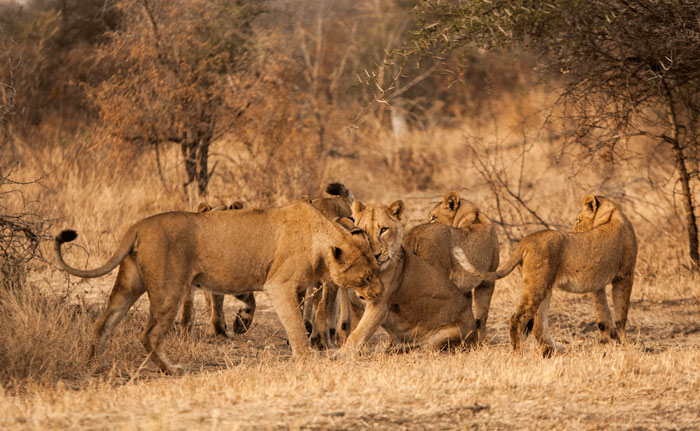 The pride engage nuzzling behavior, reinforcing the bond between individuals