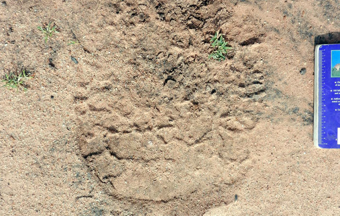 African-Elephant-Track