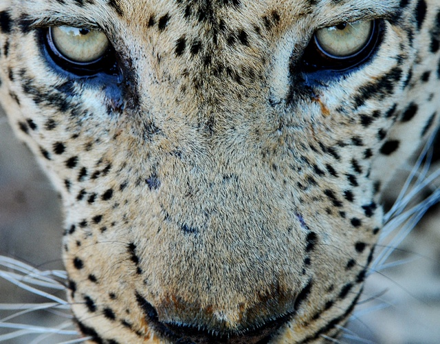 Male Leopard Portrait