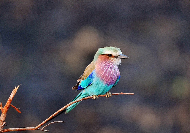 Lillac-Breasted Roller