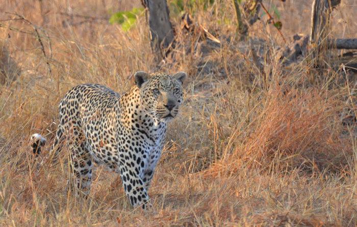 Tugwaan Male Leopard approaches