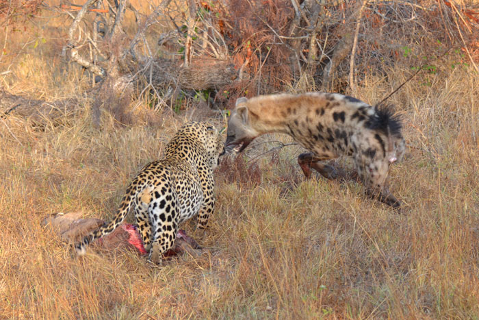 Tugwaan Male chased hyena away from kill