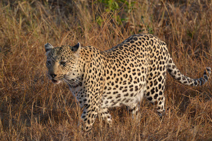 Female-Leopard