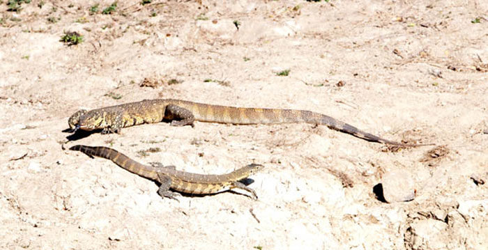 Mating Monitor Lizards