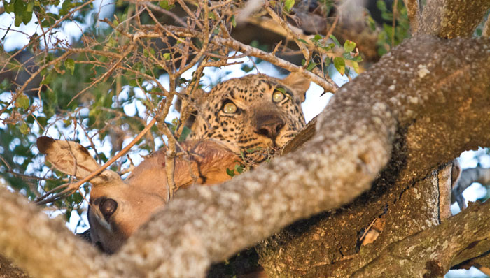 Once hoisted the Tugwaan Male began to feed on the impala carcass, slowly at first - Adam Bannister