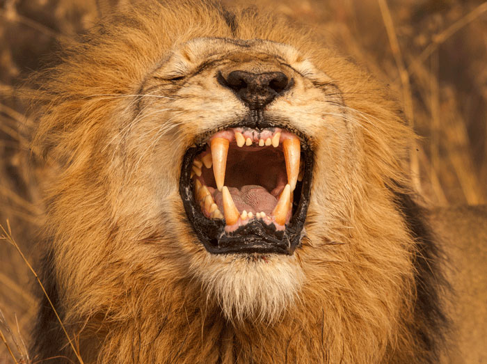 A flehmen grimace from one of the Majingilane Male Lions