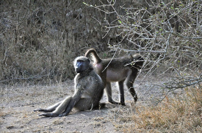 A pair of baboons playing in the late afternoon light