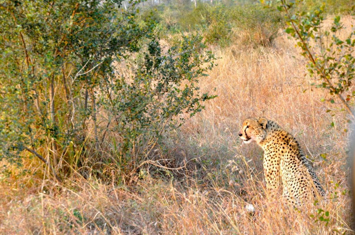 The male cheetah currently on Londolozi