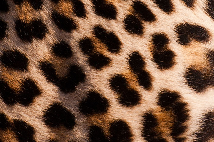 An up-close view of the leopard's 'spots' - which are actually called rosettes, and differ from a cheetah's polka-dot pattern.