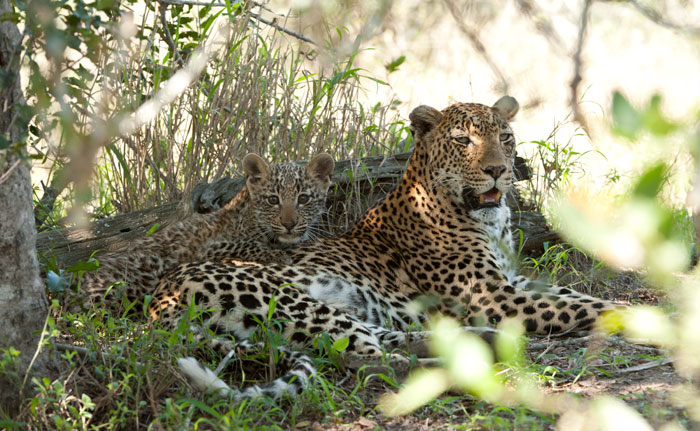 Vomba Female and Leopard Cub
