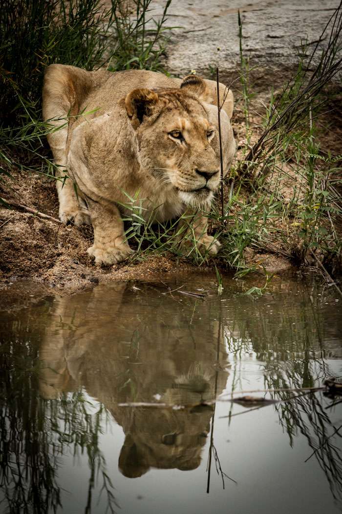 Reflection of Tsalala female drinking