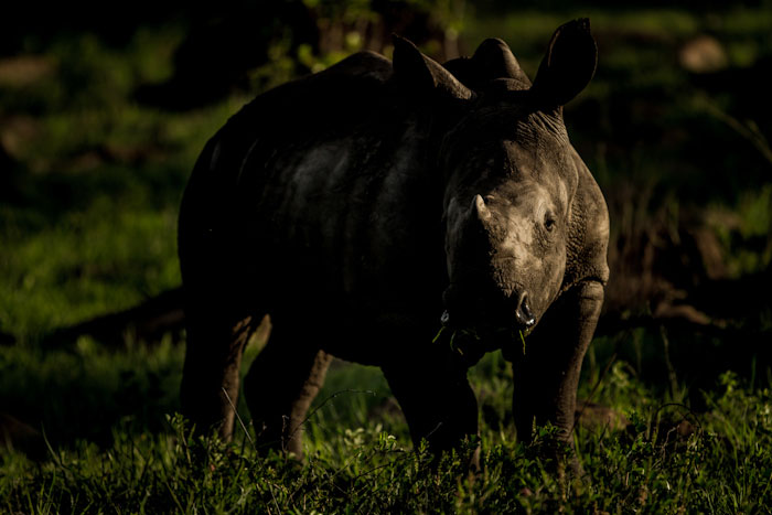 Rhino calf side lighting
