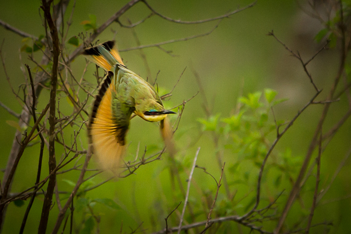 Little bee eater flight