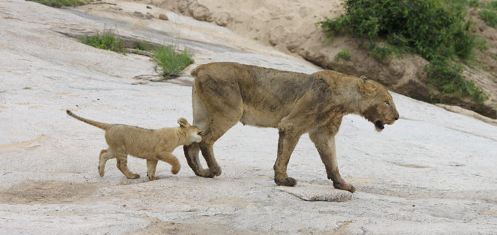 The young cub follows her mother, the Tailless female