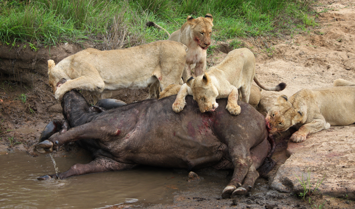 The Tsalala Pride feast on the deceased buffalo