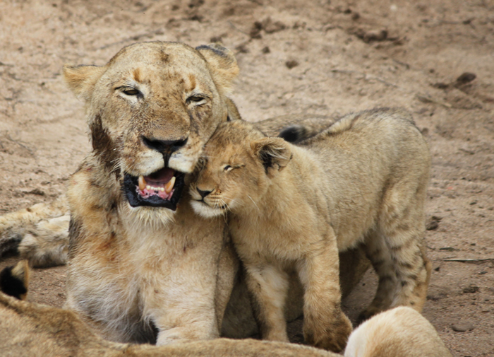 The single cub of the Tsalala pride nuzzles with her mother, the Tailless female
