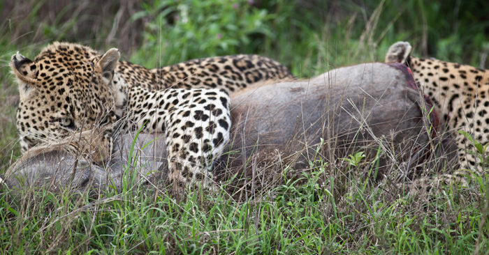 The Marthly Male (left) and the Maxabeni Female (right) feed on the warthog carcass