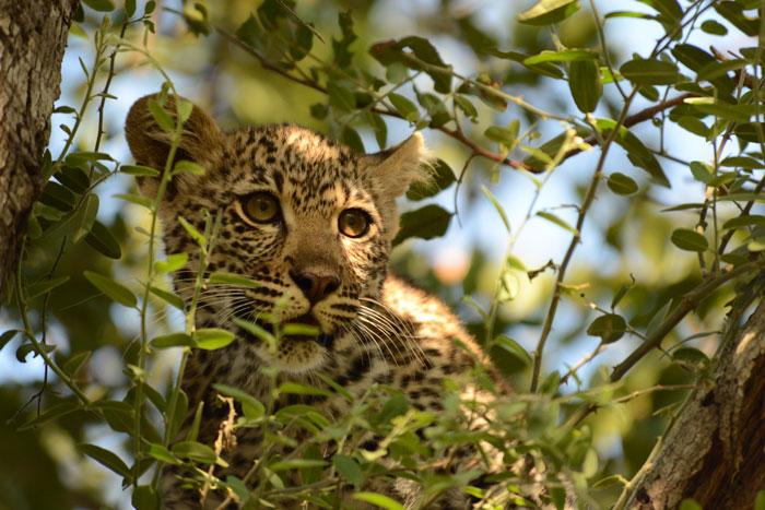 Piva Leopard Cub