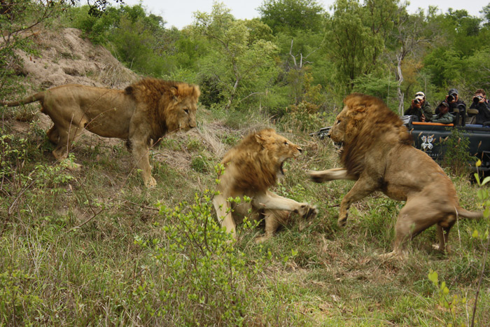 Lion vs midget fighting team necessary