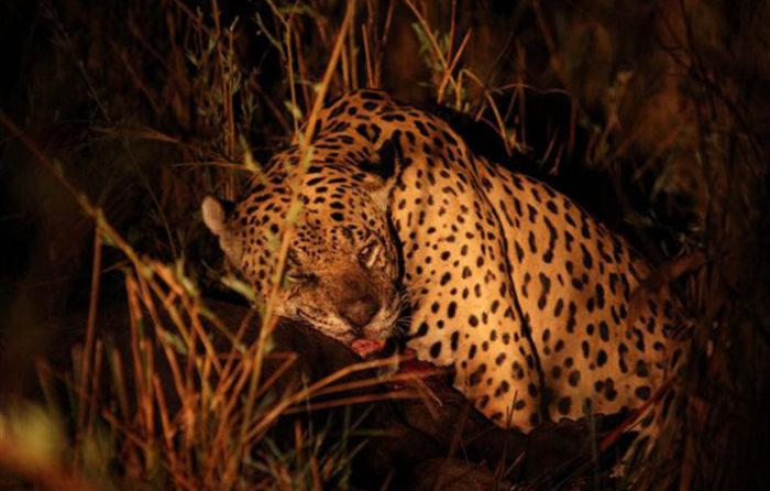 Tapir Jaguar